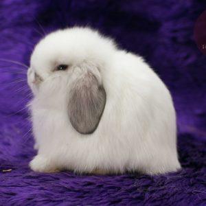 กระต่าย เซเบิ้ลพ้อย